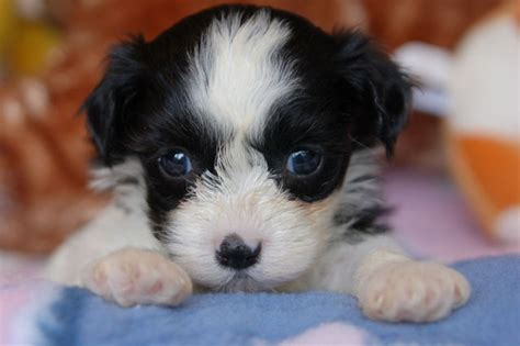 havanese puppies for sale in ri havanese pictures royal flush havanese