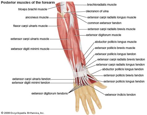 diagram of the forearm human system britannica