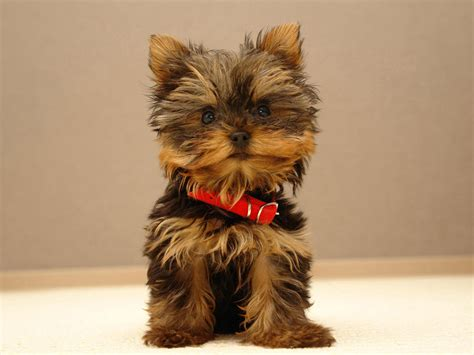 pictures of yorkies dogs lovely terrier photo and wallpaper beautiful lovely terrier