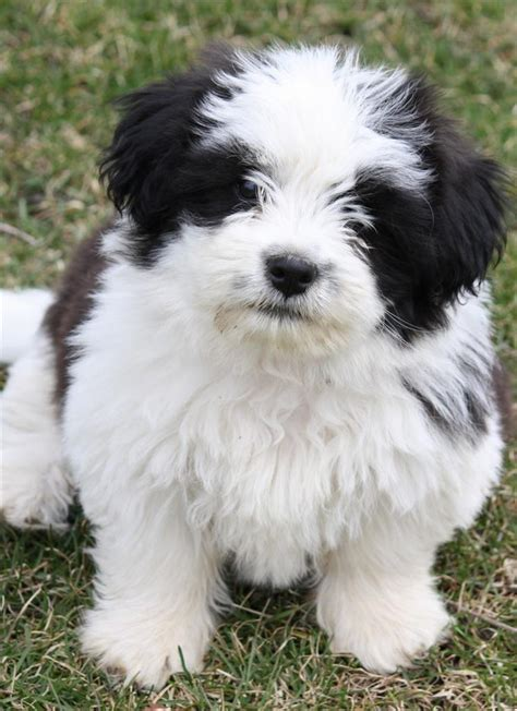 silky shih tzu shih tzu glossy poster picture photo puppy puppies silky hair 1772 ebay
