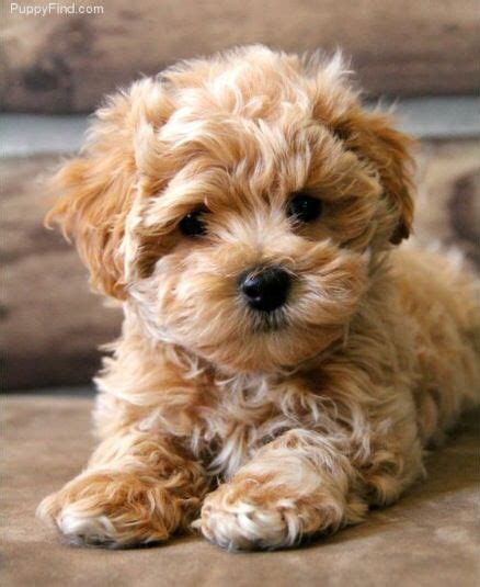 cinnamon maltipoo puppies for sale best 20 maltipoo puppies ideas on