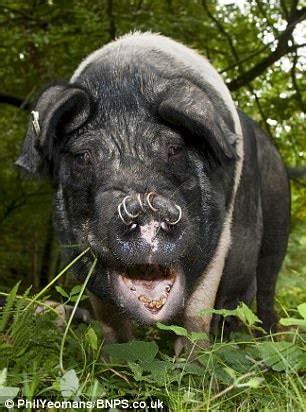rambler attacked by gang of angry pigs in new forest