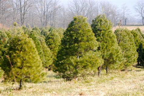 find the perfect tree at evans whispering pines christmas