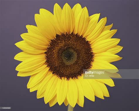 Flower Sun 1 the sunflower of one flower stock photo getty images