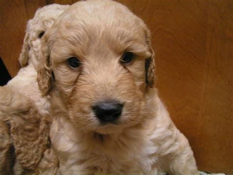 adoption nyc goldendoodle puppy rescue ny rory miniature goldendoodle 3 m o kenmare cleveland