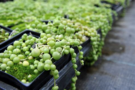 Trailing Foliage Plants For Hanging Baskets - string of pearls plant tips for growing a rosary string of beads plant
