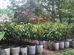 Jual Bibit Bebek Di Medan cara menanam bibit durian bibit durian montong dan bawor