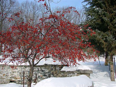 what deciduous tree has berries in winter berry tree in winter flickr photo