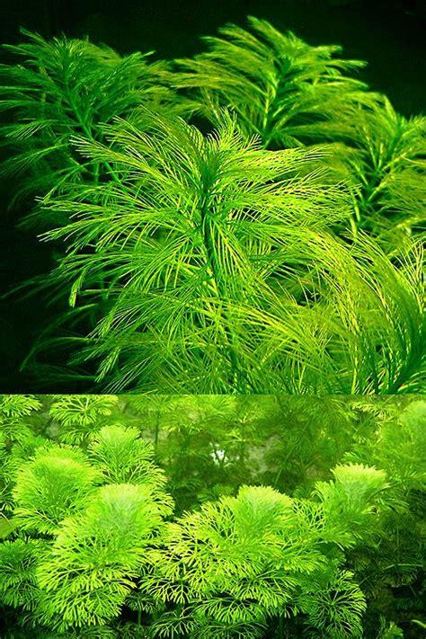 Aquascape Plants List by Aquarium44 Endless List Of Favorite Aquatic Plants 11