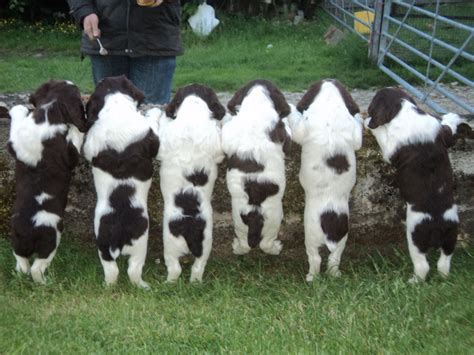 can puppies leave at 6 weeks 6 beautiful springer spaniel puppies knighton powys pets4homes