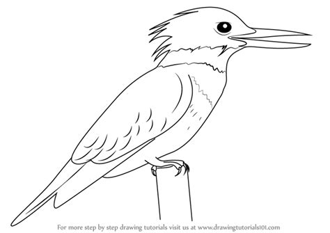 kingfisher coloring pages learn how to draw a belted kingfisher birds step by step