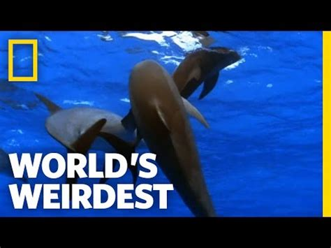 promiscuous dolphins | world's weirdest video 3gp mp4 mp3