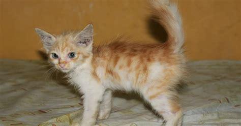 Obat Jamur Kucing anak kucing mix anggora segitu petshop