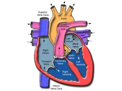 anatomia interna corpo umano anatomia cuore anatomia cuore umano hnczcyw immagini