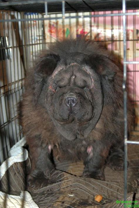 chow chow  vendre merlins hope chow sharpei rescue mtl version