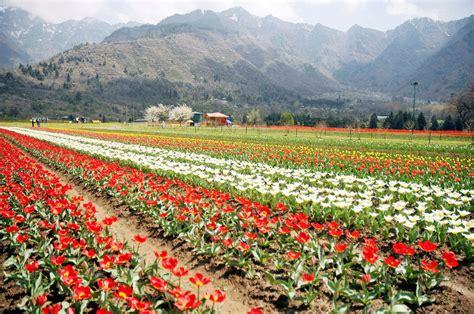 Tulip Garden Kashmir S Latest Star Attraction Tulip Flower Garden In India