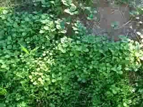 Weeds Backyard by Edible Weeds In Garden