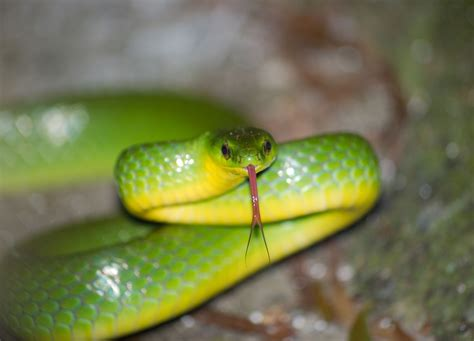 cyclophiops major greater green snake