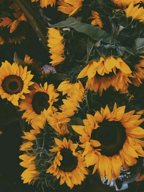 sunflowers background sunflower wallpaper sunflowers