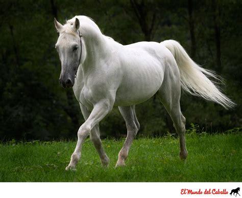 imagenes a blanco y negro de caballos fotograf 237 a hermoso caballo tordillo el mundo del