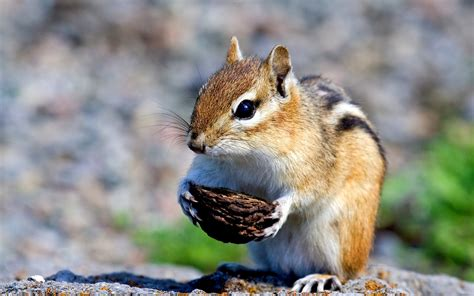 chipmunk pictures free chipmunk with nut wallpapers and images wallpapers