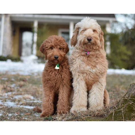 setter doodle rescue 257 best images about puppy love on pinterest spanish