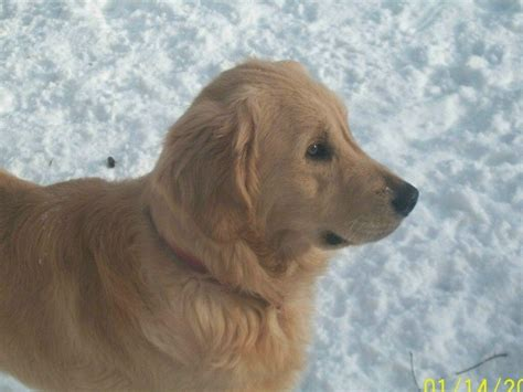 golden retriever akc golden retriever for sale by gouinsgoldens american kennel club