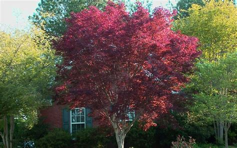 12 foot maple tree emperor one japanese maple 3 gallon tree japanese maples all
