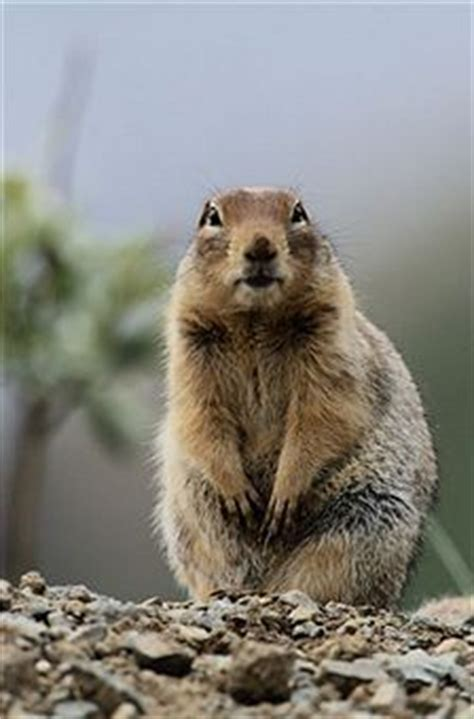 how to get rid of a gopher in my backyard home remedies remedies and natural home remedies on pinterest