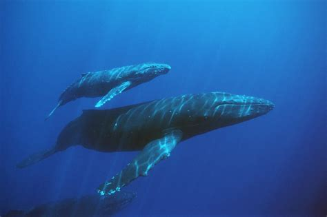 images of a whale the blue whale the wildlife