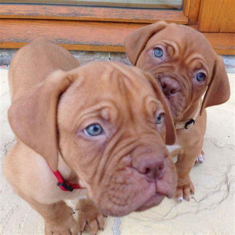dogue de bordeaux breed guide learn   dogue de