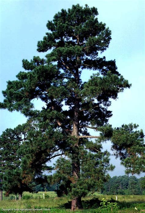 loblolly pine oldfield pine pinus taeda pinaceae most commonly encountered pine in texas it