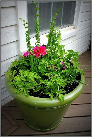 1000 ideas about anti mosquito plants on pinterest mosquito plants plants for sale and fast