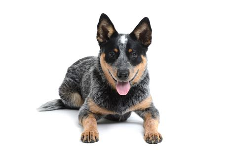 how to cattle dogs europetnet australian cattle