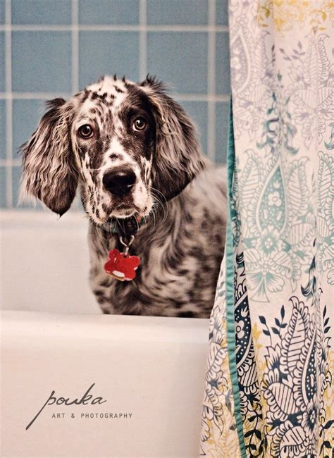 female english setter dog names pin by anastasia kuzmina on собаки pinterest english