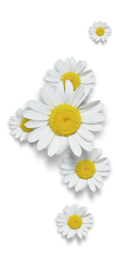 fiori bianchi fiori bianchi