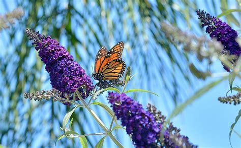 grow butterfly bush heres     garden glove