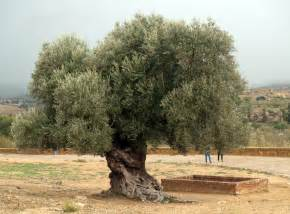 Olive Tree by Very Old Olive Tree Body Art Pinterest
