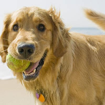 non shedding golden retriever golden retriever best dogs for runners and active health