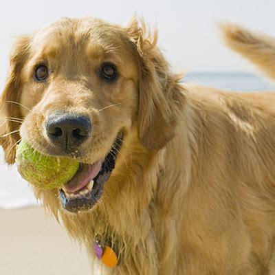golden retriever asthma golden retriever best dogs for runners and active health