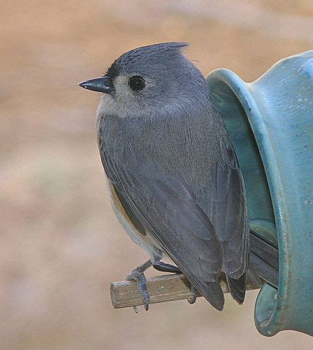 21 best images about bird tufted titmouse on pinterest