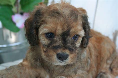 greenfield puppies cavapoo cavapoo puppies cavapoos and other lil cuties cavapoo puppies and