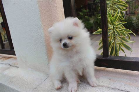 white miniature pomeranian white mini pomeranian www pixshark images galleries with a bite