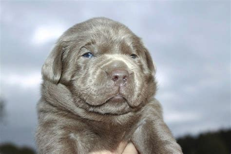 silver lab puppies for sale in alabama what s a silver labrador photo