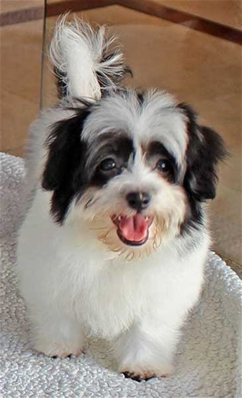 havanese puppies south florida havanese puppy for sale in boca raton south florida