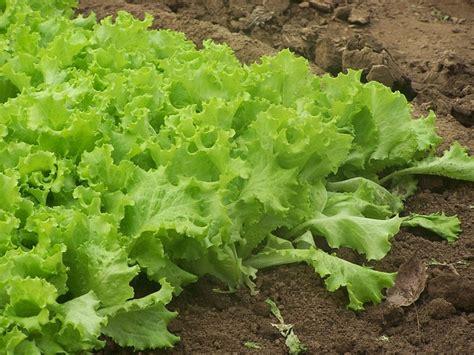 Garden Lettuce free photo farm organic farm lettuce garden free image on pixabay 173184