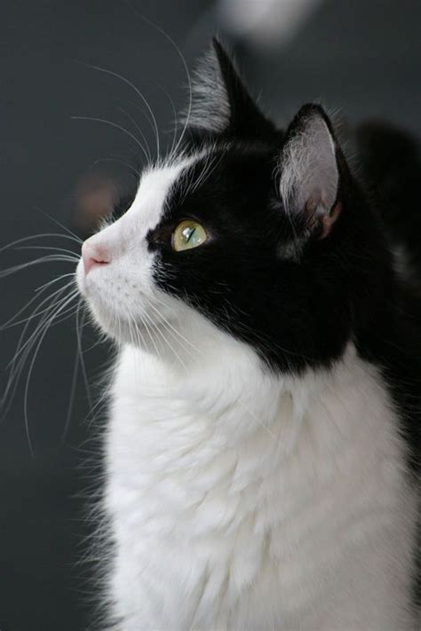 black and white cat cats kittens pinterest tuxedos tuxedo cats and kitty