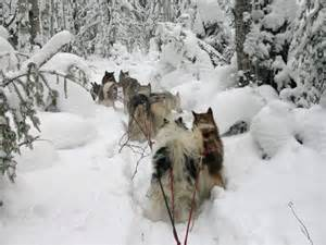 Freighting dogs where it all began mushing com the online magazine