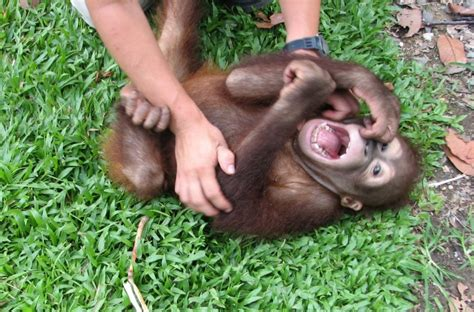 human laughter echoes chimp chuckles wired