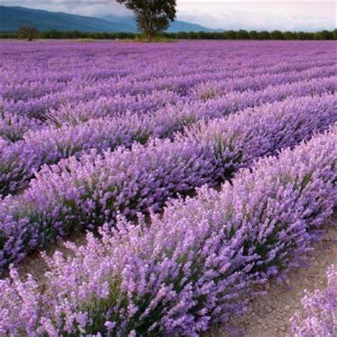 25 best ideas about lavender plants on pinterest